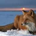 Square red fox at sunset kamchatka russia